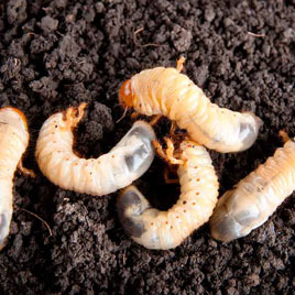 grub worm control addison texas