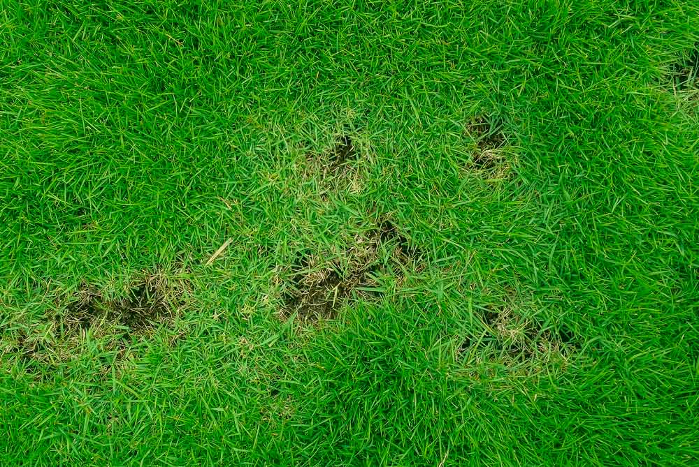lawn disease prevention dallas texas